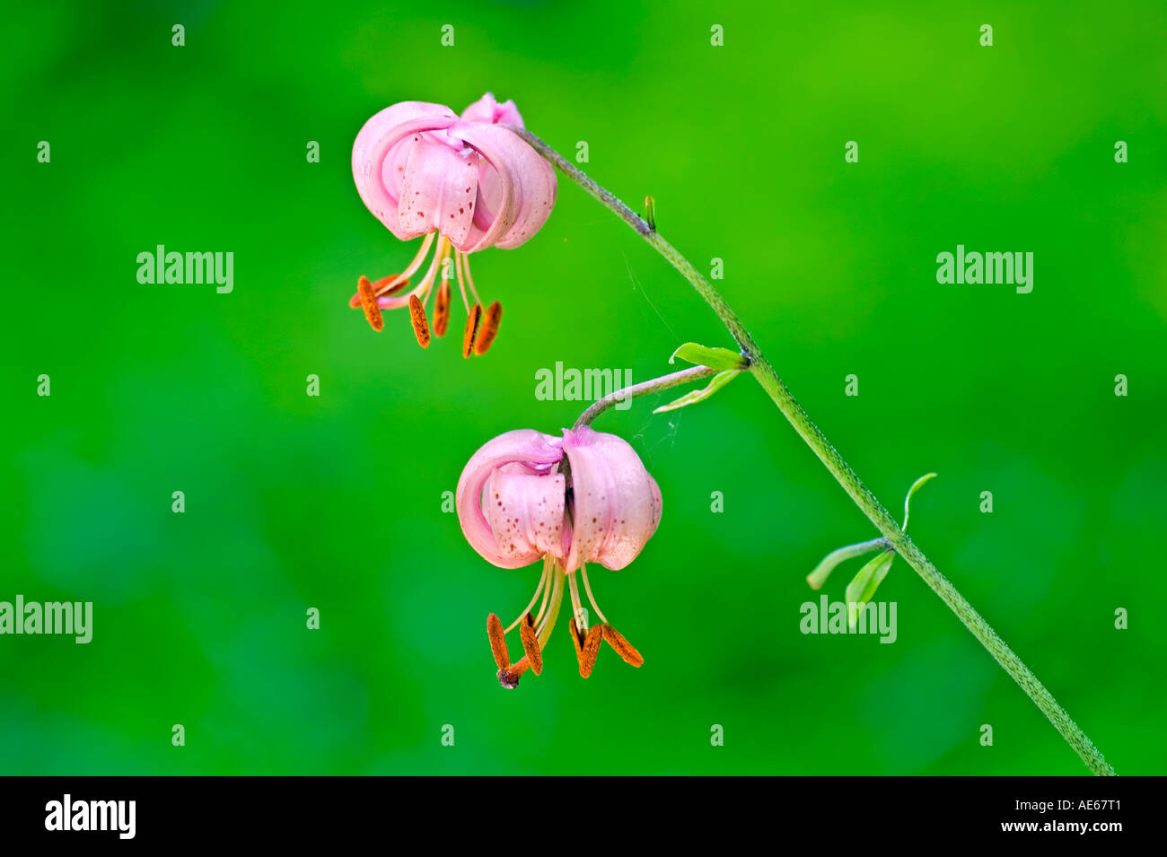 Turk's-cap lily - fiorisce in un avanzato stato Immagini Stock