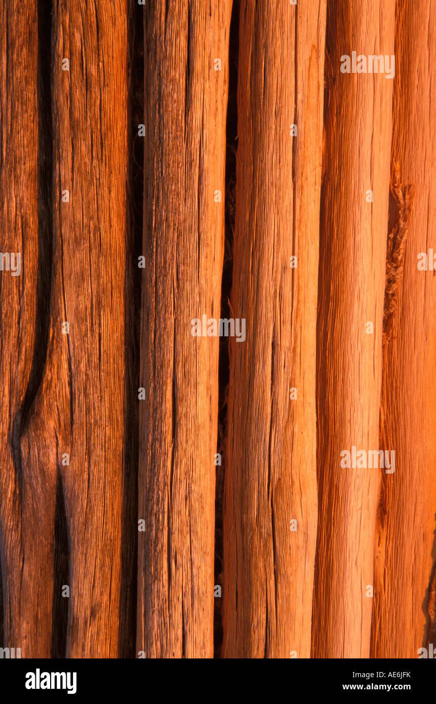 Saguaro nervature nella luce del pomeriggio, Arizona Foto Stock