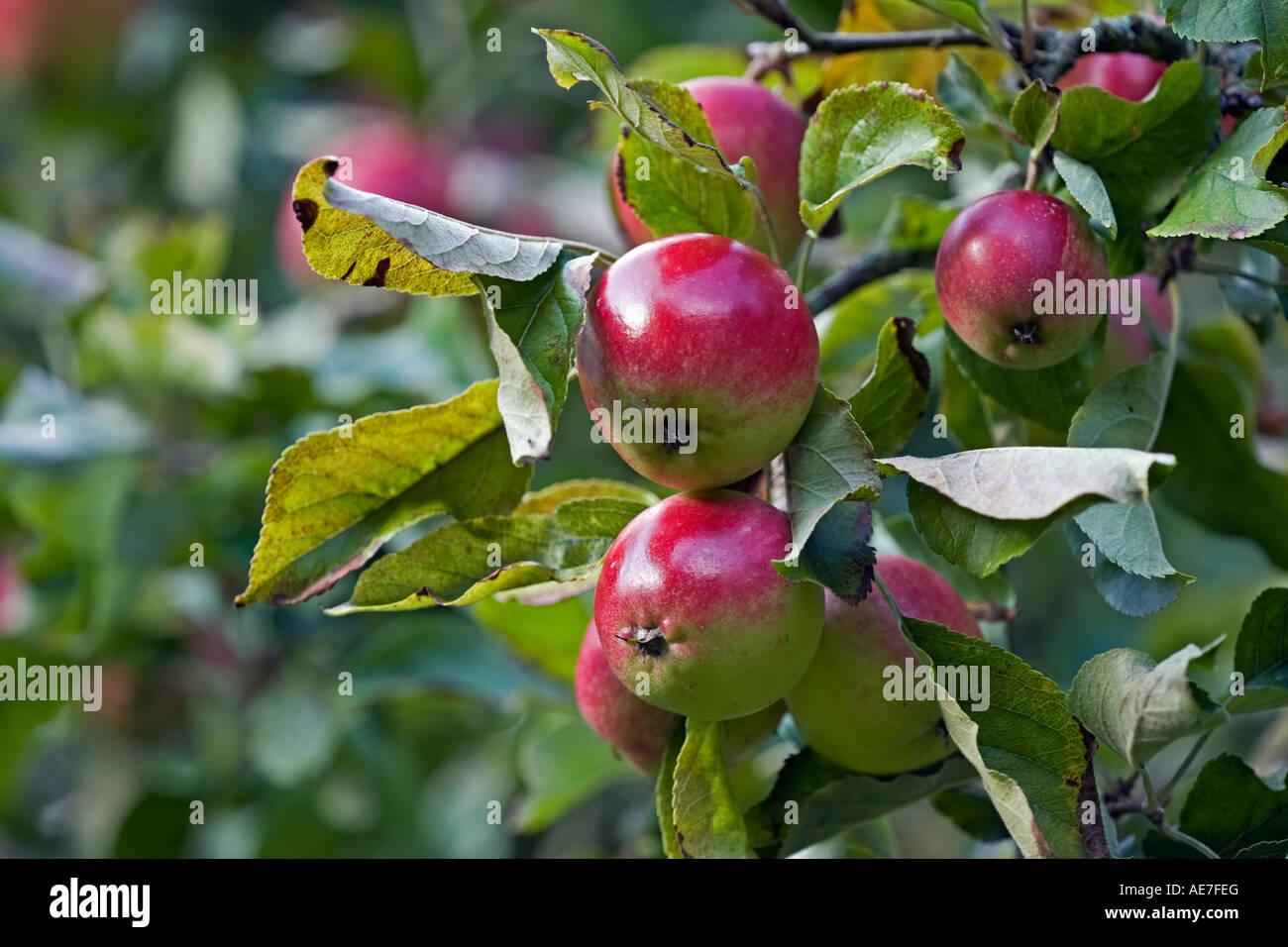 Mangiare le mele varietà 'scoperta' la maturazione sulla pianta in un frutteto in inglese Immagini Stock