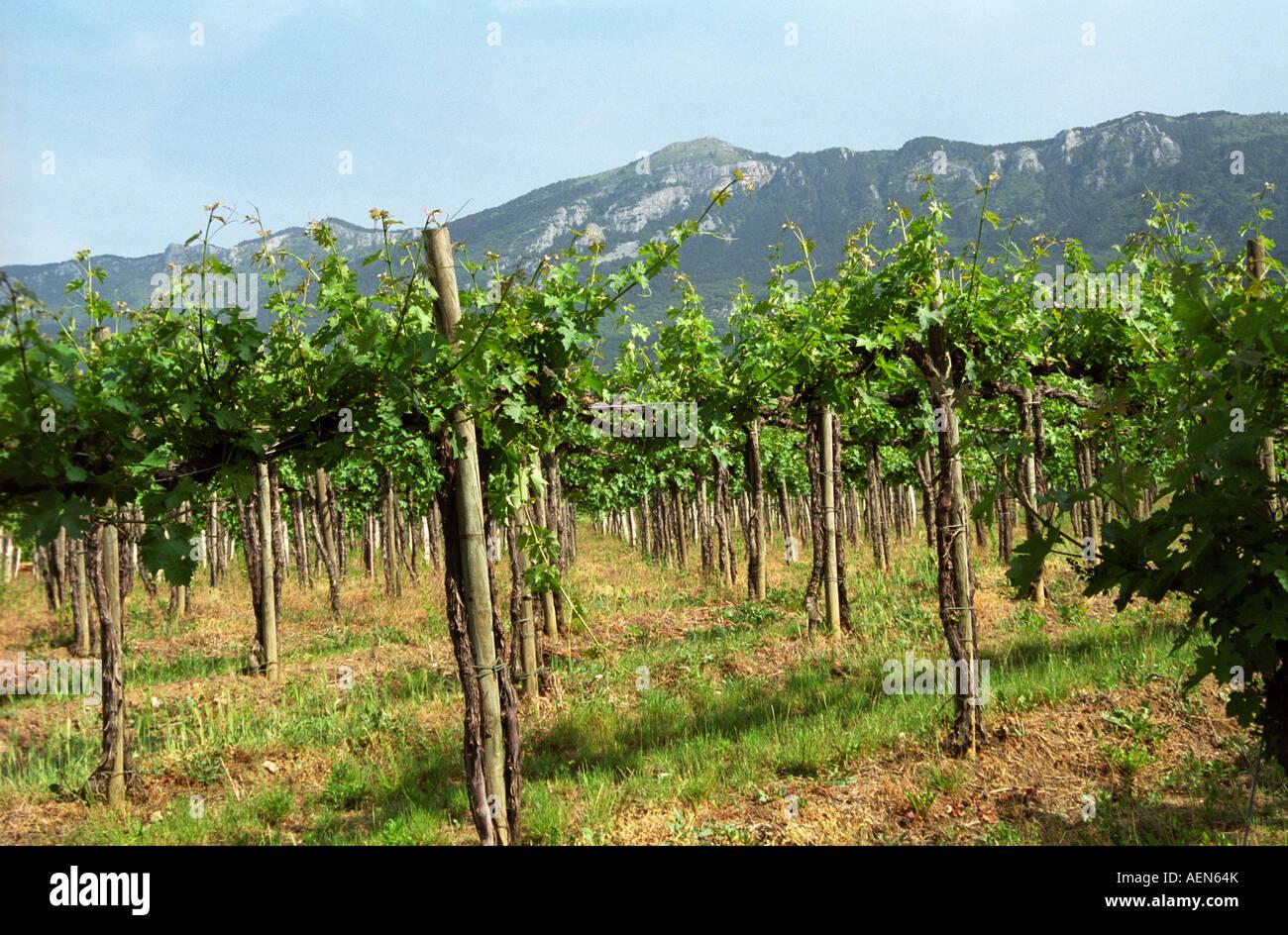 Il Pinot Noir Vigne A Tilia Cantina Nel Villaggio Di Kukanje Valle Del Vipava Regione Vinicola Litorale Slovenia