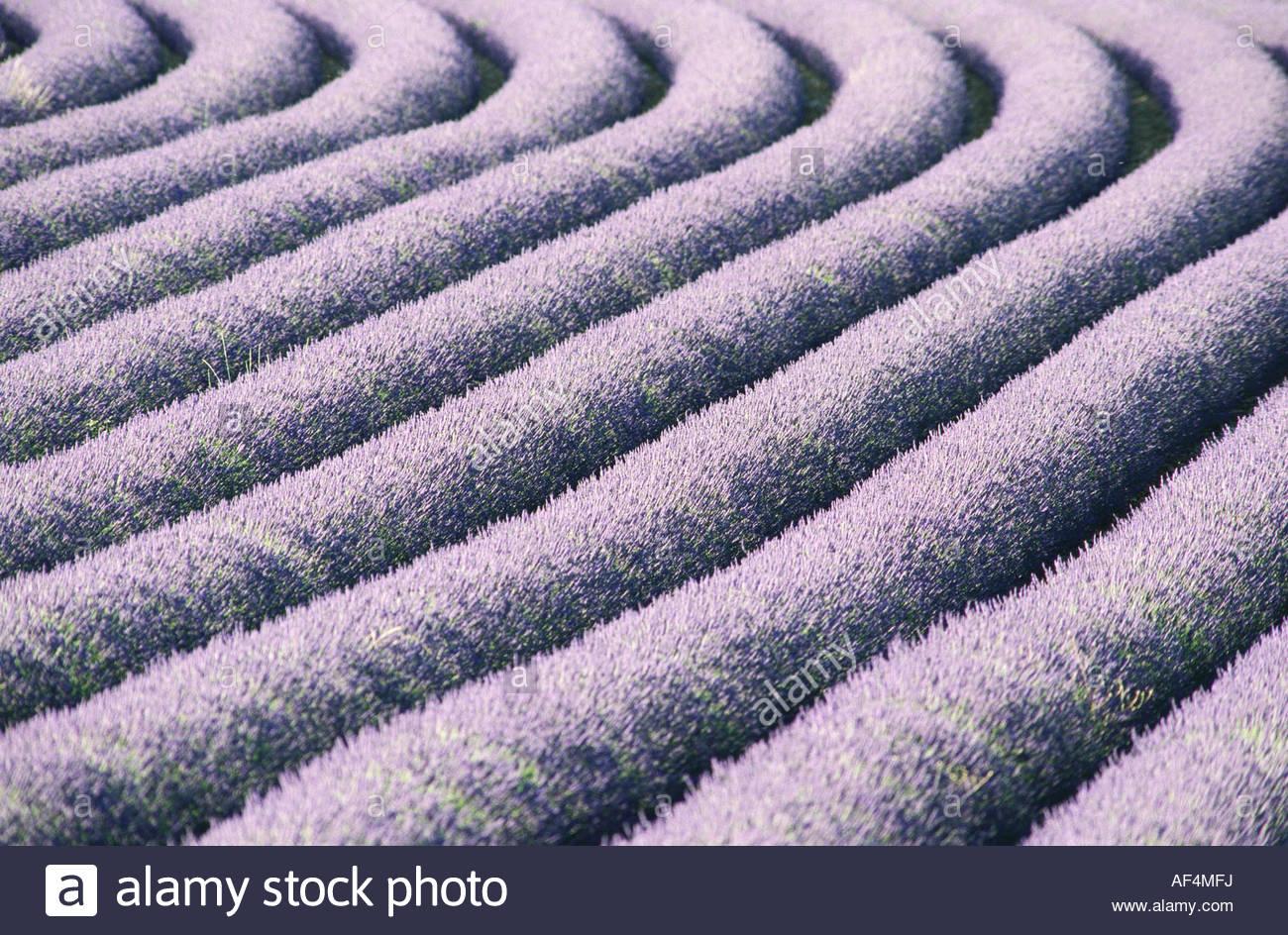 Campo di lavanda (close-up) Immagini Stock