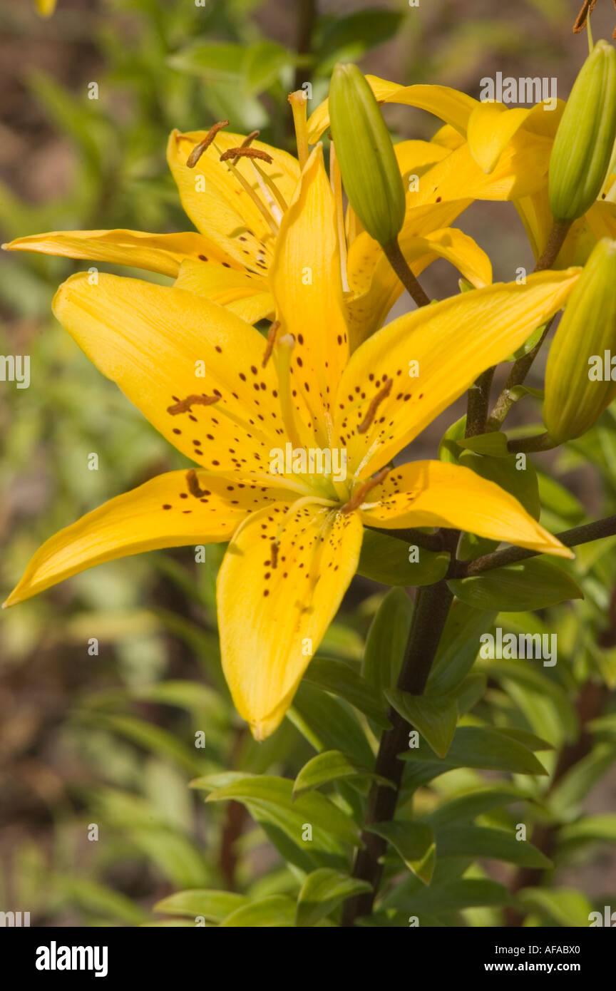Fiore giallo closeup di Crescendo giglio di giorno o daylily lilaceae lilium Immagini Stock