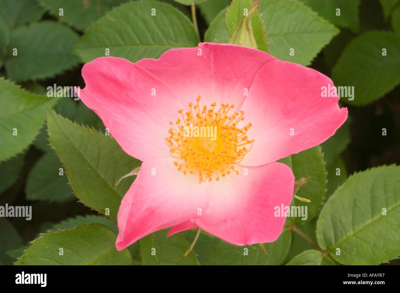 Rosa e rosa gialla fiore closeup Rose Rosaceae Rosa x bifera remontanty Sir du President Porchet Foto Stock