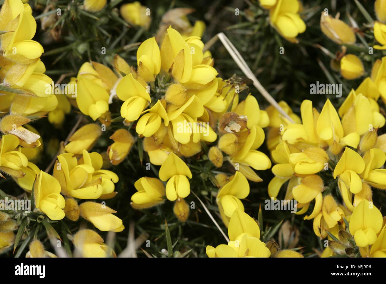 Fiori Gialli Irlanda.Gorse Whin Furze Ulex Europaeus Flora Giallo Arbusti In Fiore