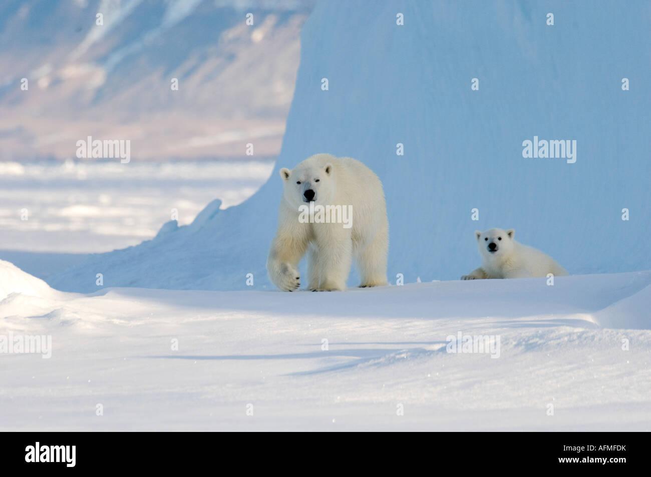 Femmina di orso polare e cinque mesi a cub iceberg Navy Board Lancaster Sound Isola Baffin Immagini Stock