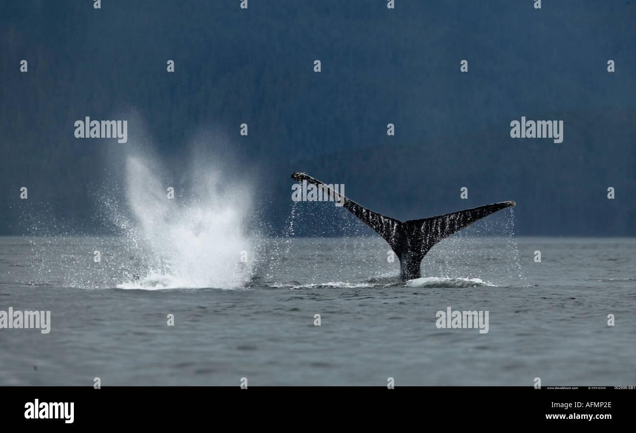 Humpback Whale Petersberg Alaska Immagini Stock