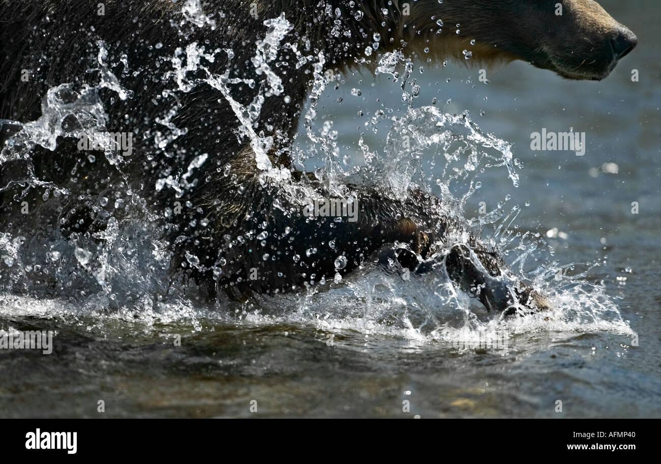 Orso bruno la pesca Katmai National Park in Alaska Immagini Stock