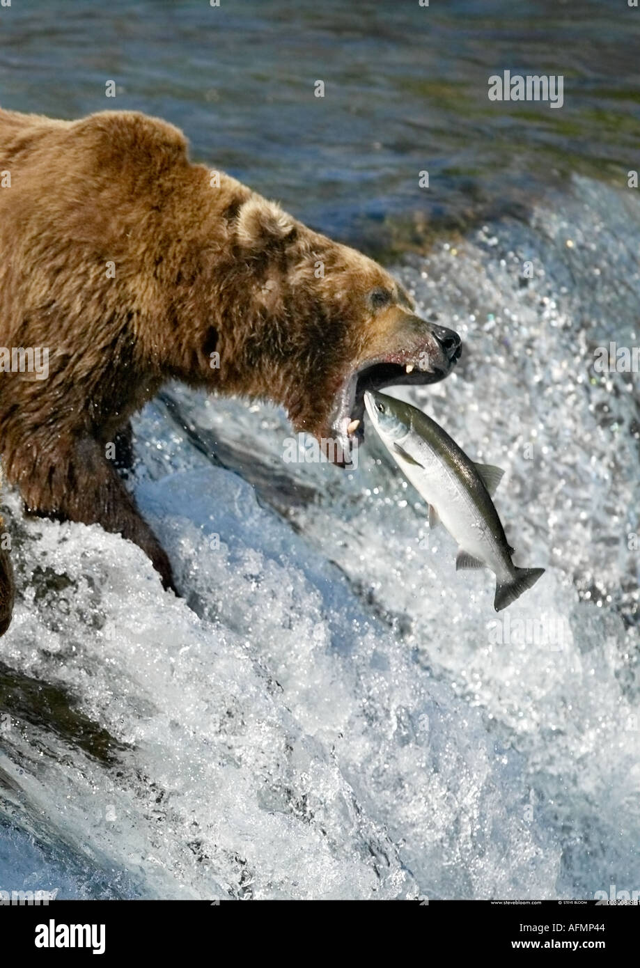 Orso bruno la cattura del salmone Brooks Falls Katmai National Park in Alaska Immagini Stock