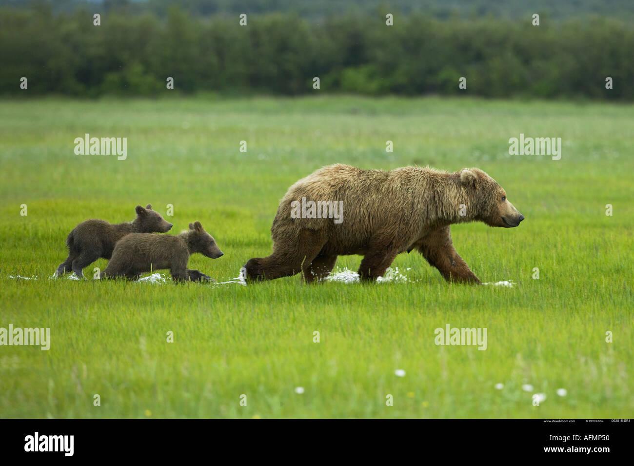 Orso bruno e lupetti Katmai National Park in Alaska Immagini Stock