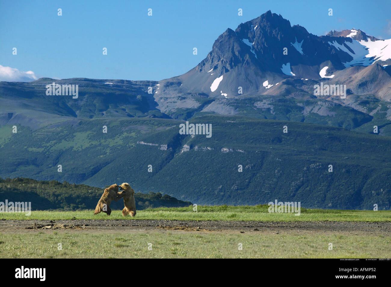 Orso bruno combattimenti Katmai National Park in Alaska Immagini Stock