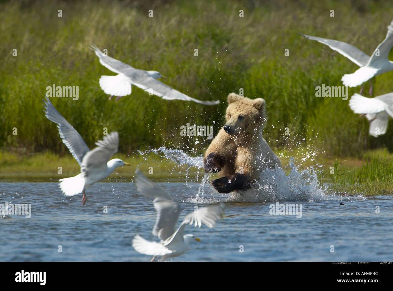 Orso bruno la carica attraverso l acqua e uccelli Katmai National Park in Alaska Immagini Stock