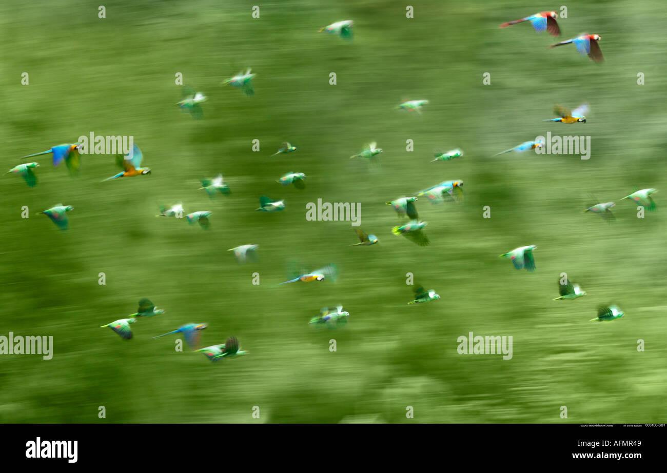 Pappagalli e pappagalli in volo sul fiume Tambopata Peru Immagini Stock