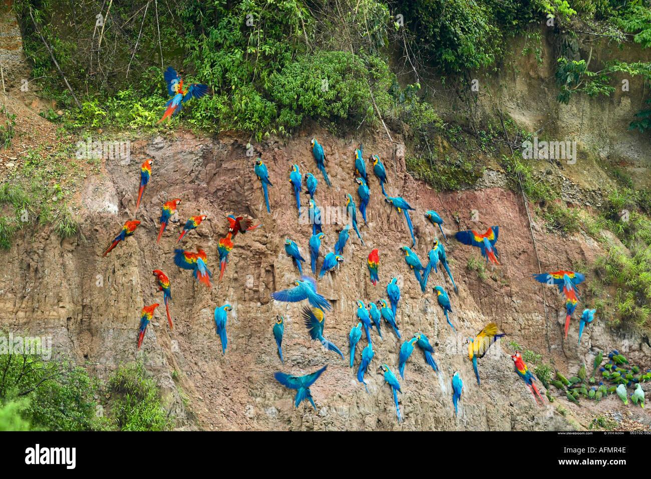 Macaws e dei pappagalli verdi a claylick sul fiume Tambopata Peru Immagini Stock