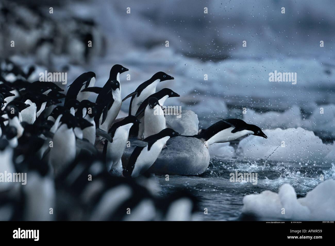 Adelie penguins Paulet Island Antartide Immagini Stock