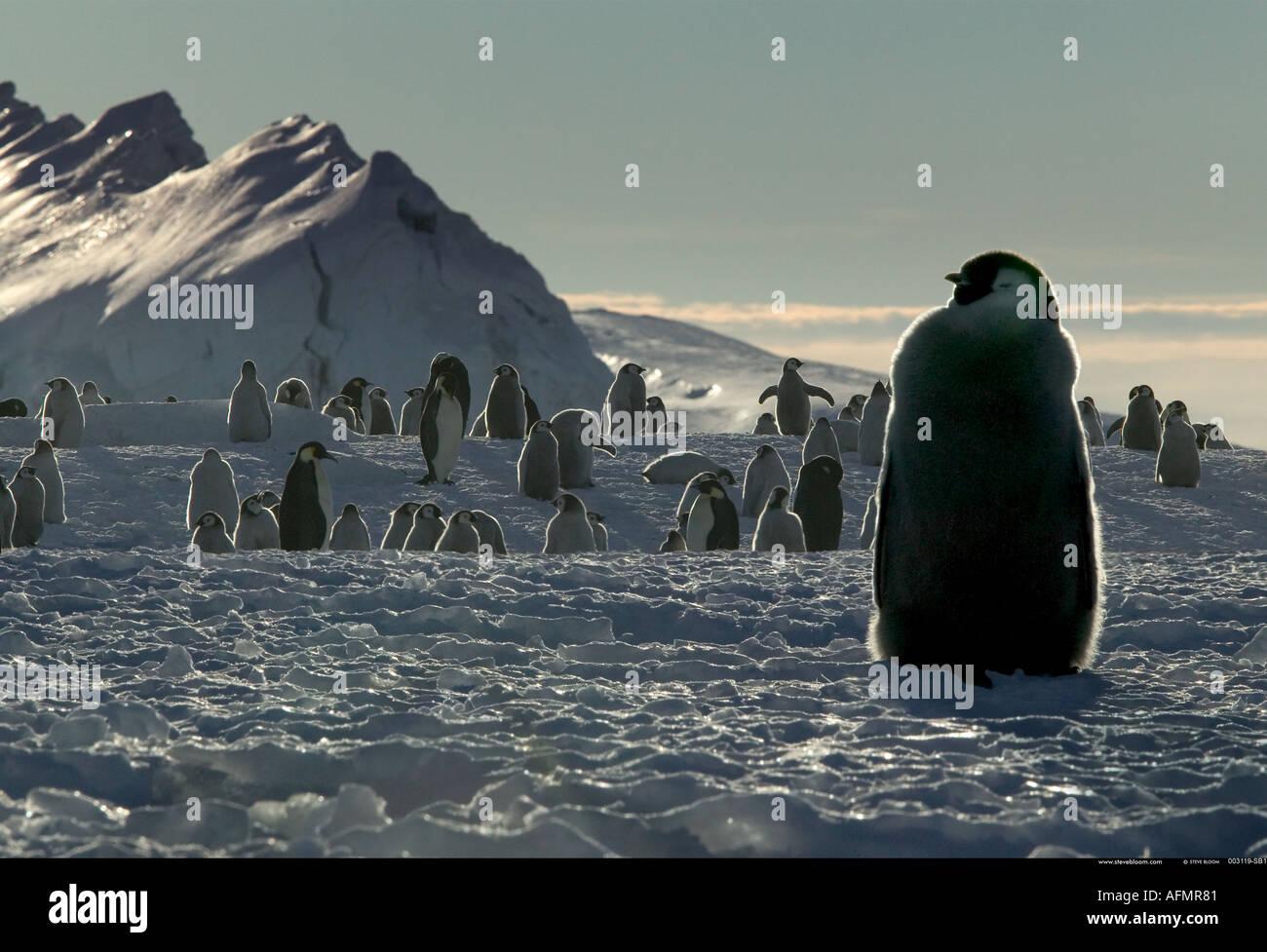Giovane imperatore pinguino in attesa di cibo Cape Washington Antartide Immagini Stock