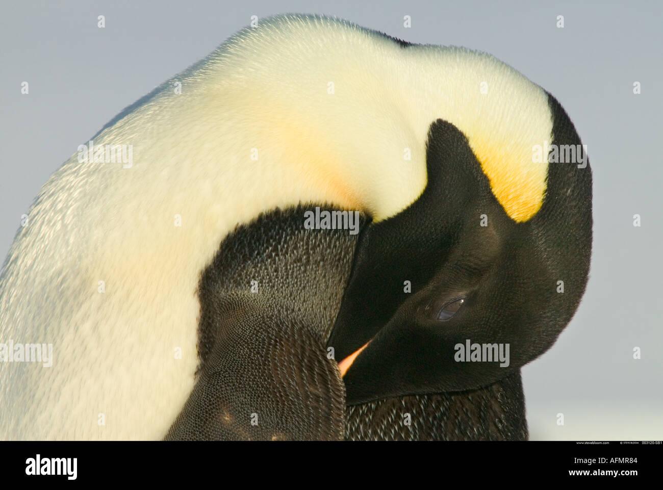 Un adulto pinguino imperatore addormentato Cape Washington Antartide Immagini Stock