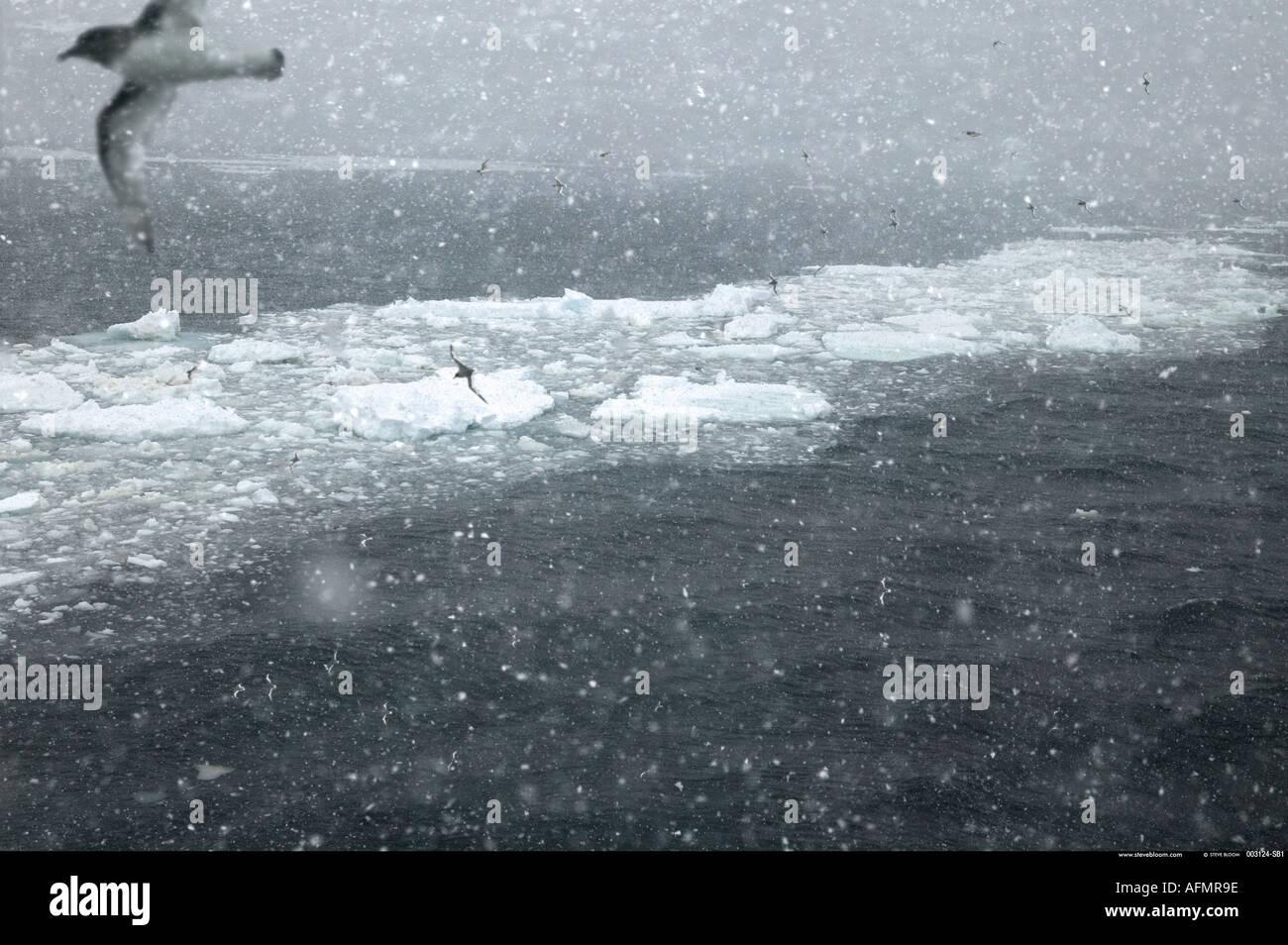 Procellarie antartiche battenti in un blizzard Antartide Immagini Stock