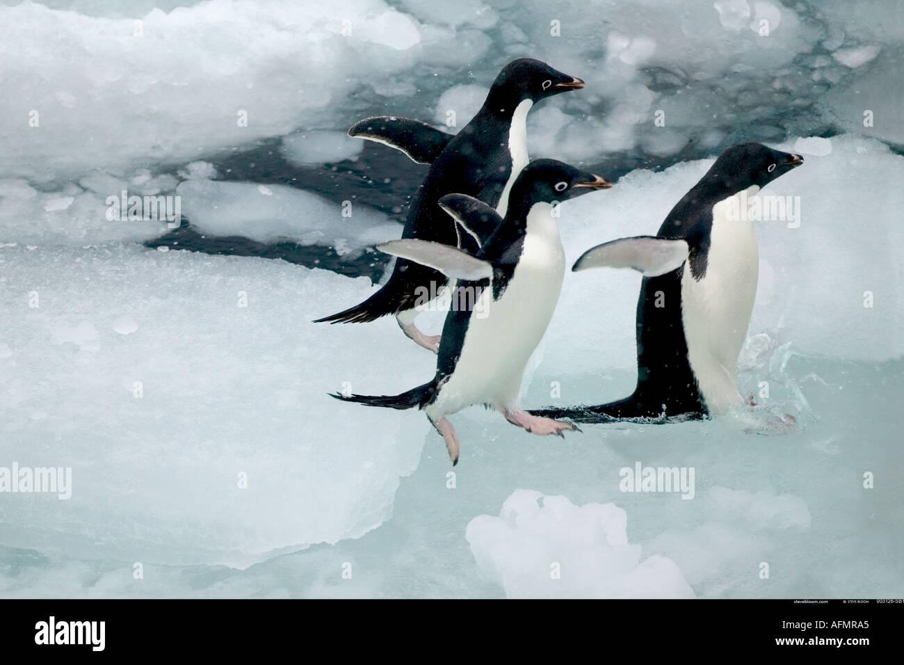 Tre Adelie Penguins saltando in acqua Paulet Island Antartide Immagini Stock