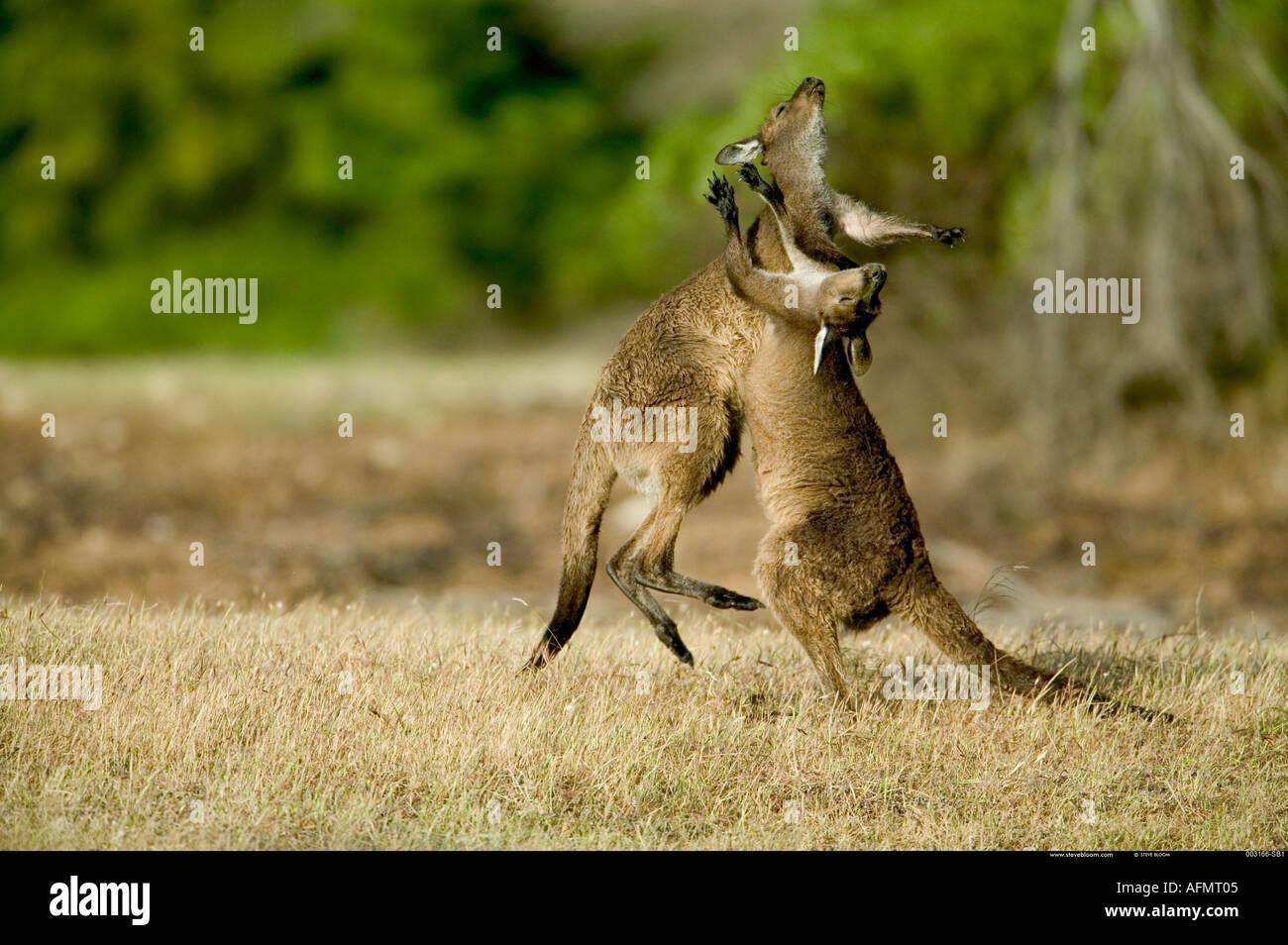 Canguri fighting Kangaroo Island in Australia Immagini Stock