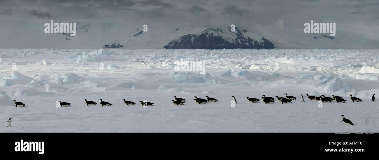 Pinguini imperatore sul loro modo torna alla colonia Isola di Coulman Antartide Immagini Stock