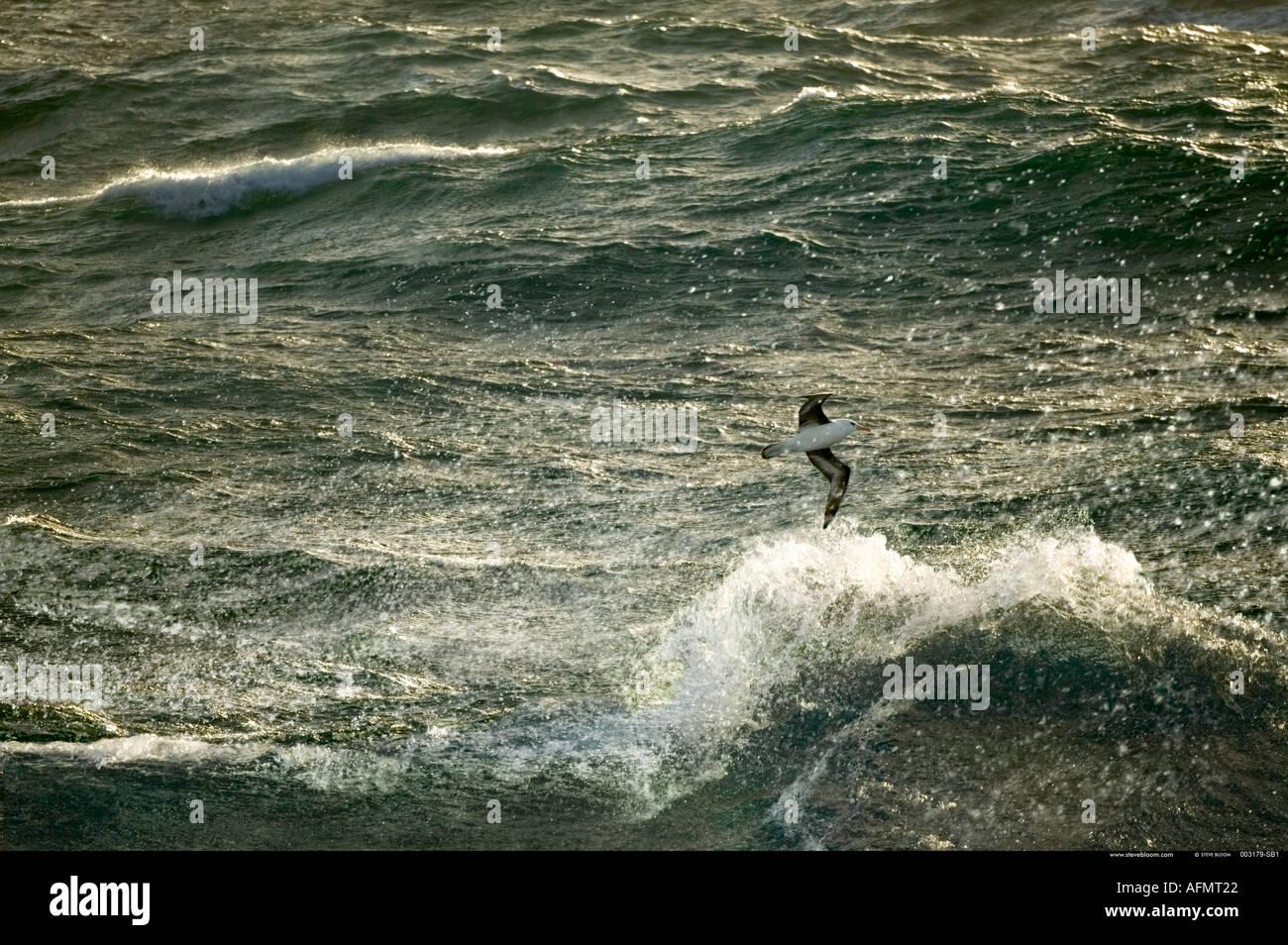 Albatro errante Oceano Meridionale Antartide Immagini Stock