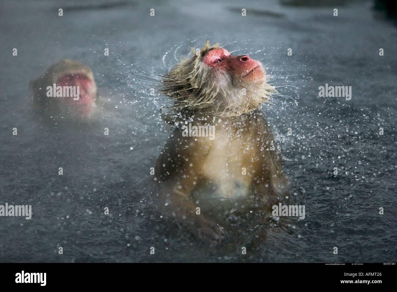 Snow monkey scuotendo via acqua Jigokudani Parco Nazionale del Giappone Immagini Stock