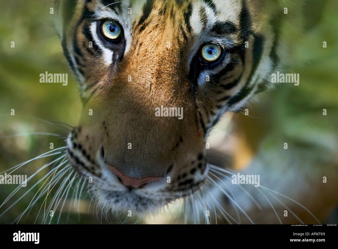 Tigre del Bengala cercando Bandhavgarh India Foto Stock