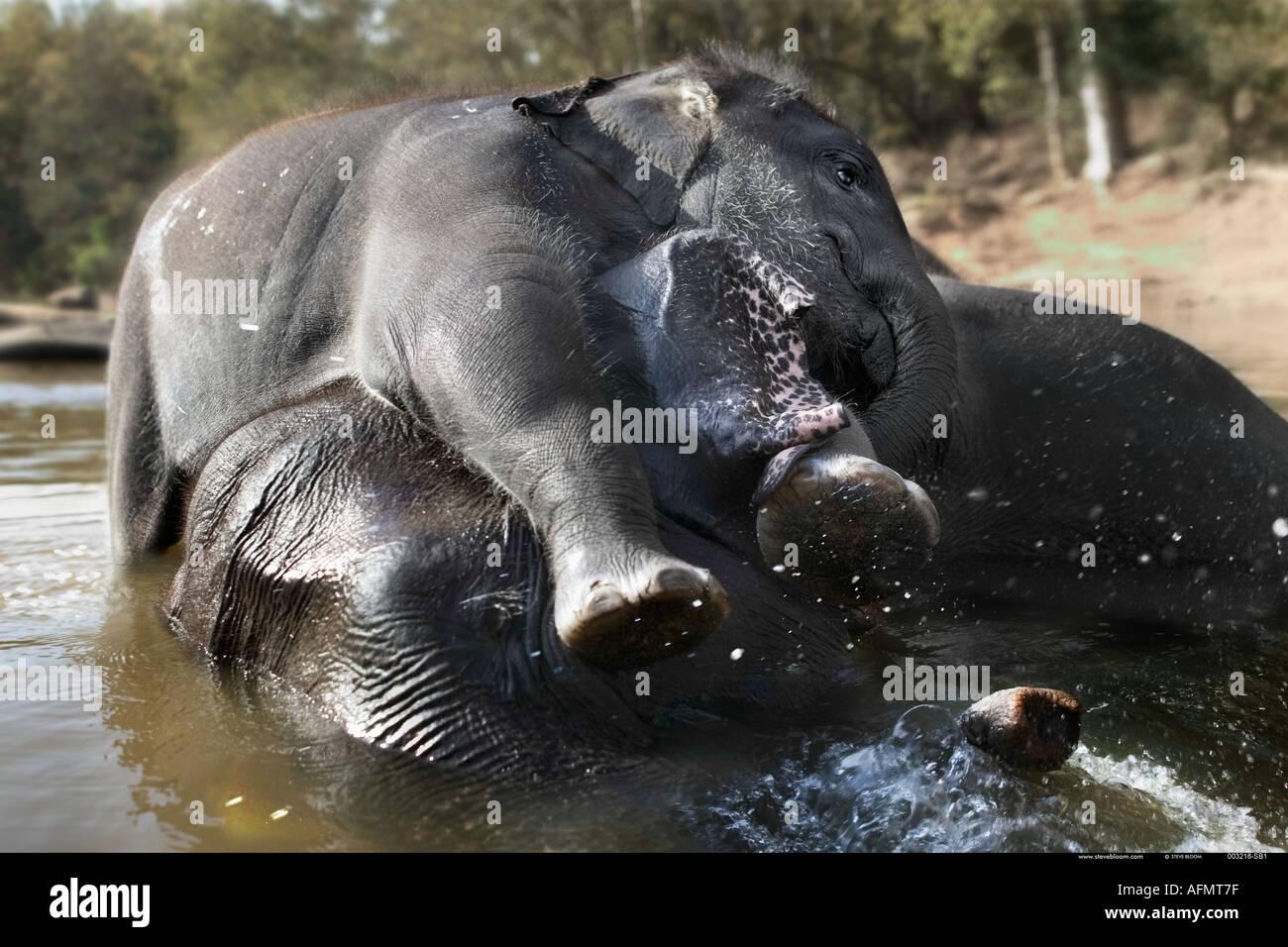 Giovane elefante indiano giocando in acqua con sua madre India Kanha Immagini Stock