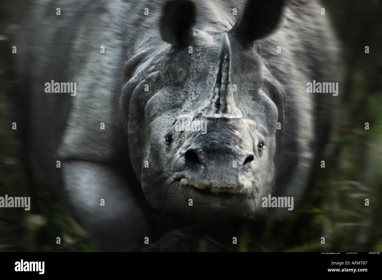 La carica del rinoceronte indiano Kaziranga India Immagini Stock