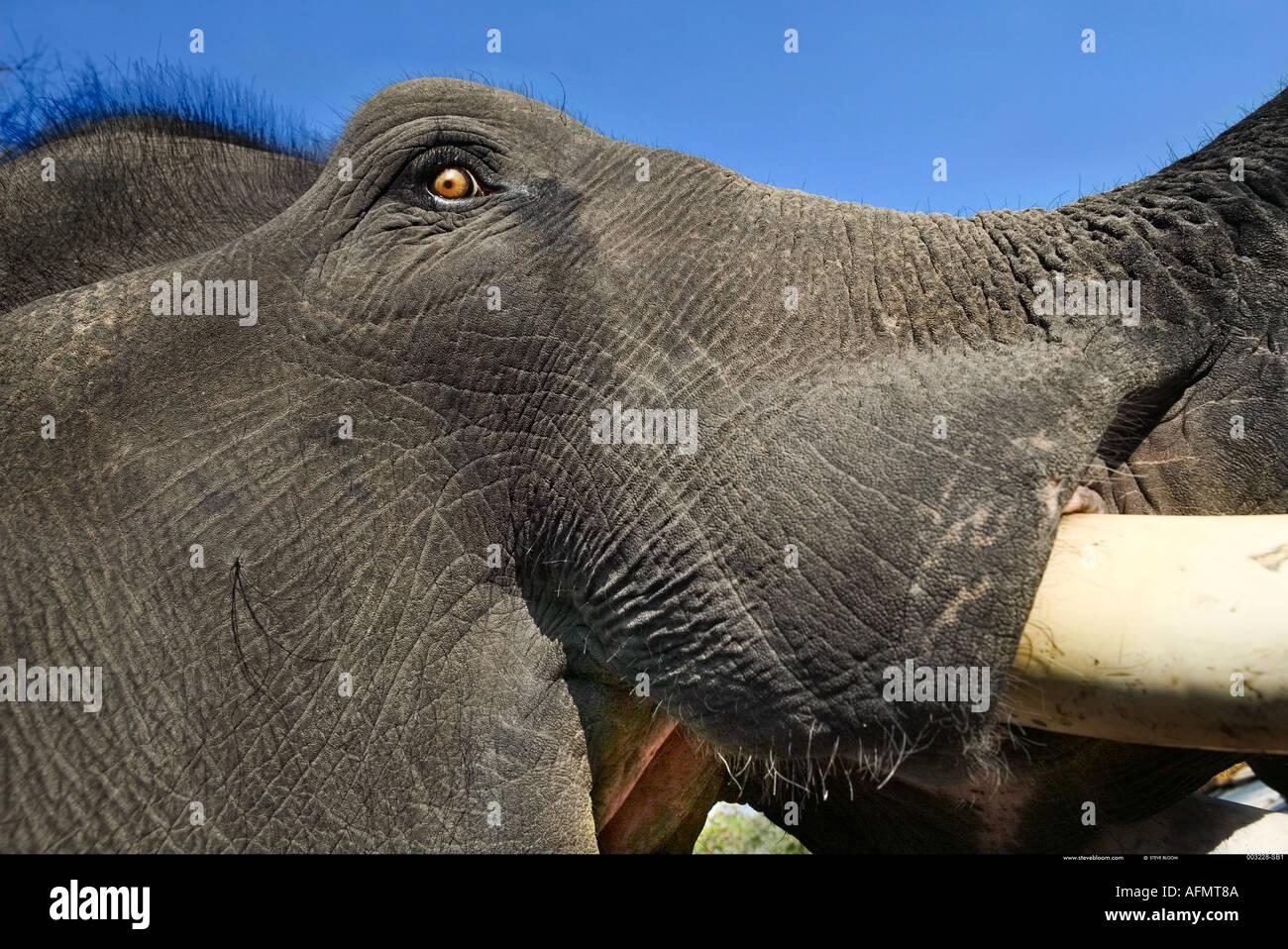 In prossimità della testa di un elefante indiano India Kanha Immagini Stock