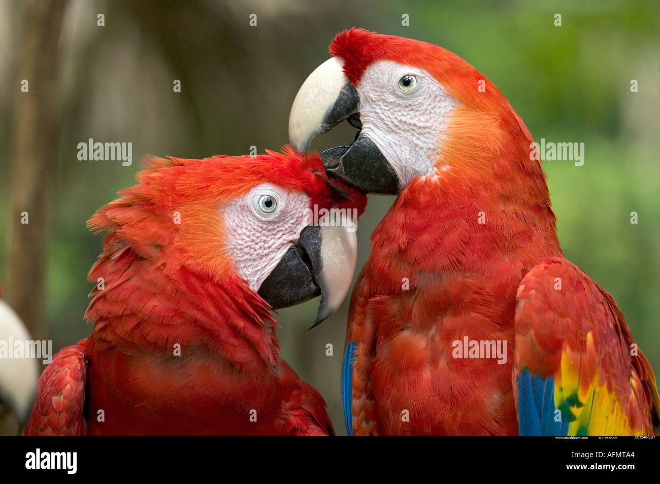 In prossimità dei due Scarlet Macaws Honduras Immagini Stock