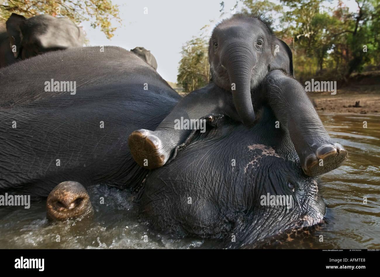 Madre e di vitello in appoggio sul fiume Kanha India Immagini Stock