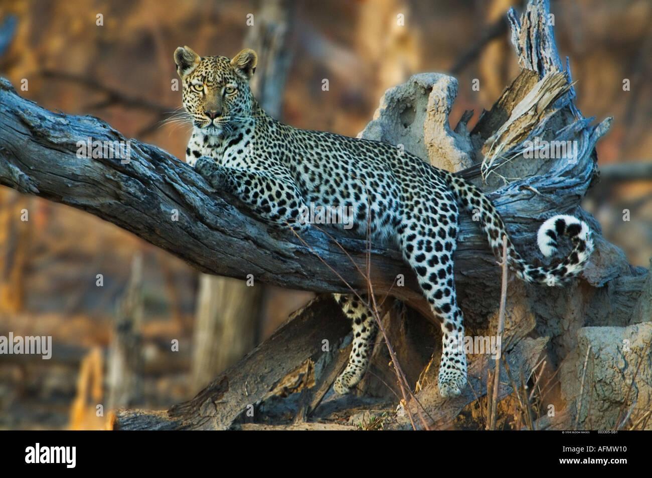 Leopard in appoggio nella struttura ad albero Khwai Botswana Immagini Stock