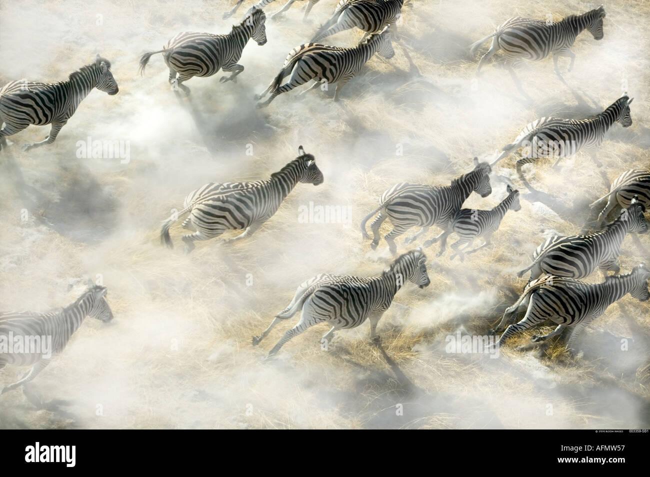 Vista aerea della Zebra mandria esecuzione di Okavango Delta Botswana Immagini Stock