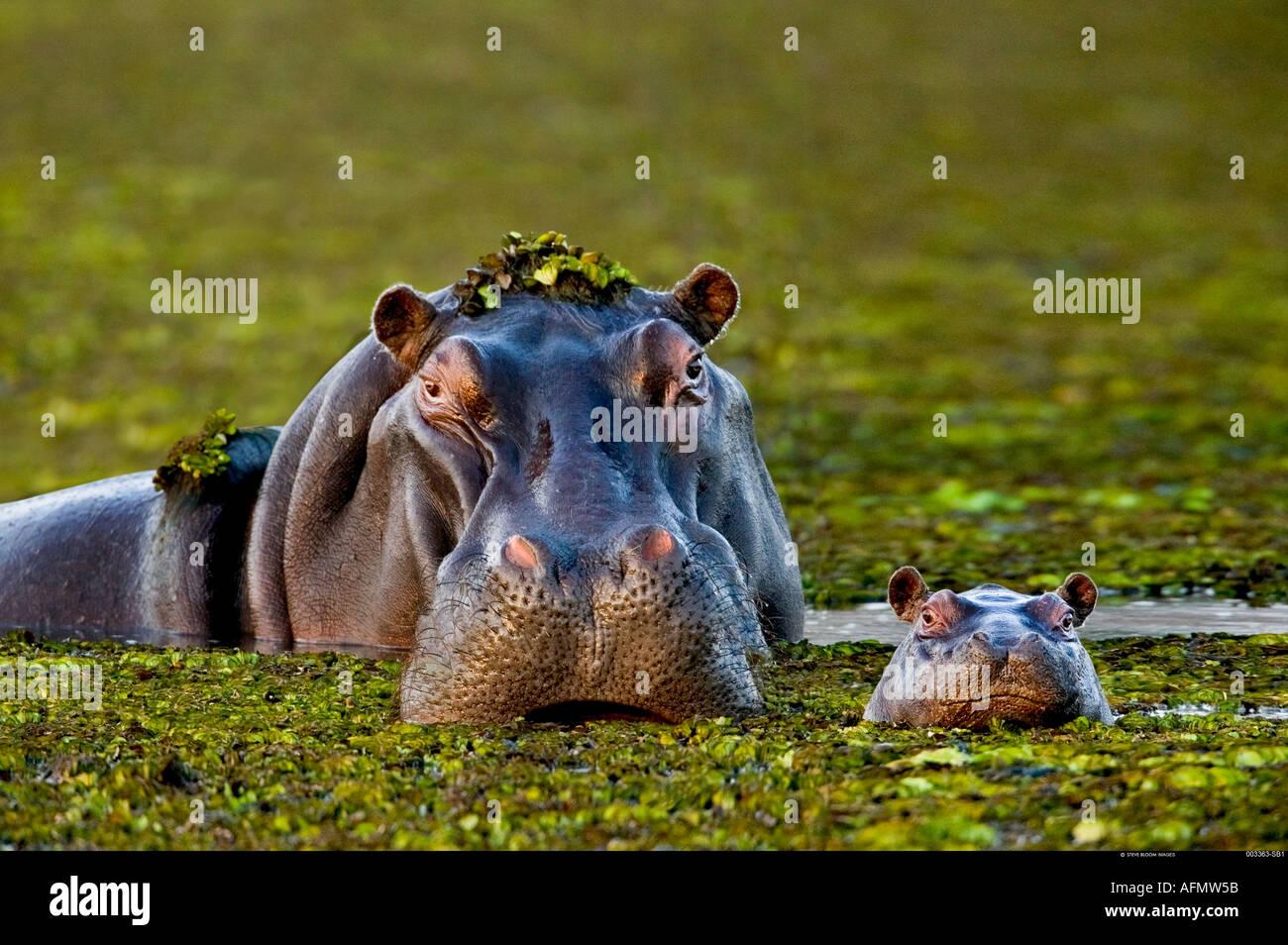 Il bambino e la madre ippopotamo Okavango Delta Botswana Immagini Stock