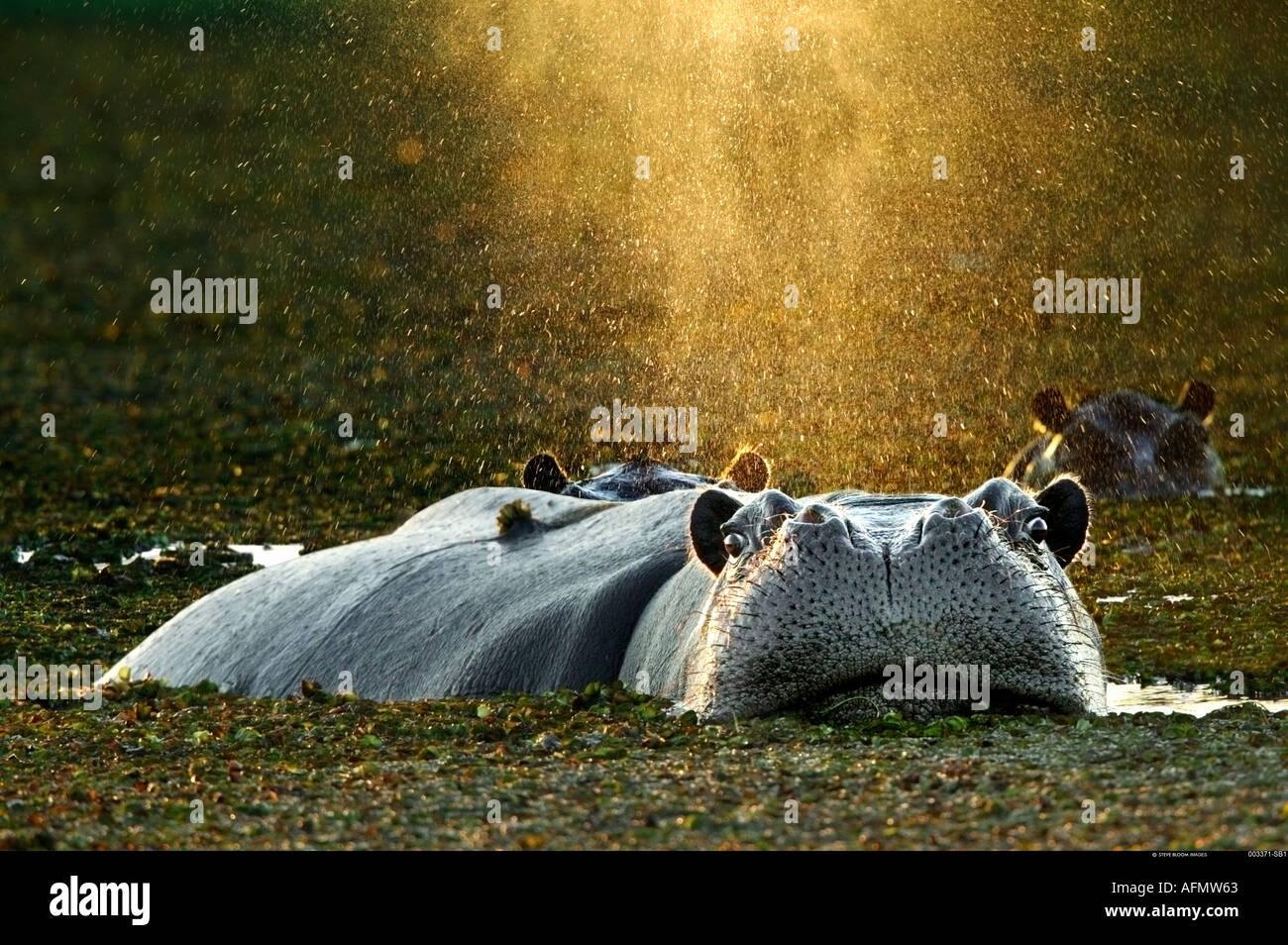 La balneazione ippopotamo Okavango Delta Botswana Immagini Stock
