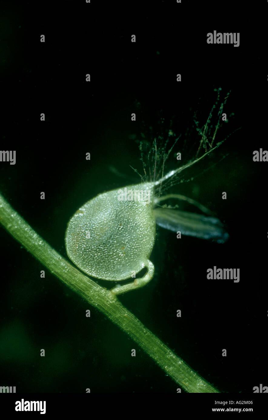 Bladderwort trappola subacquea Immagini Stock