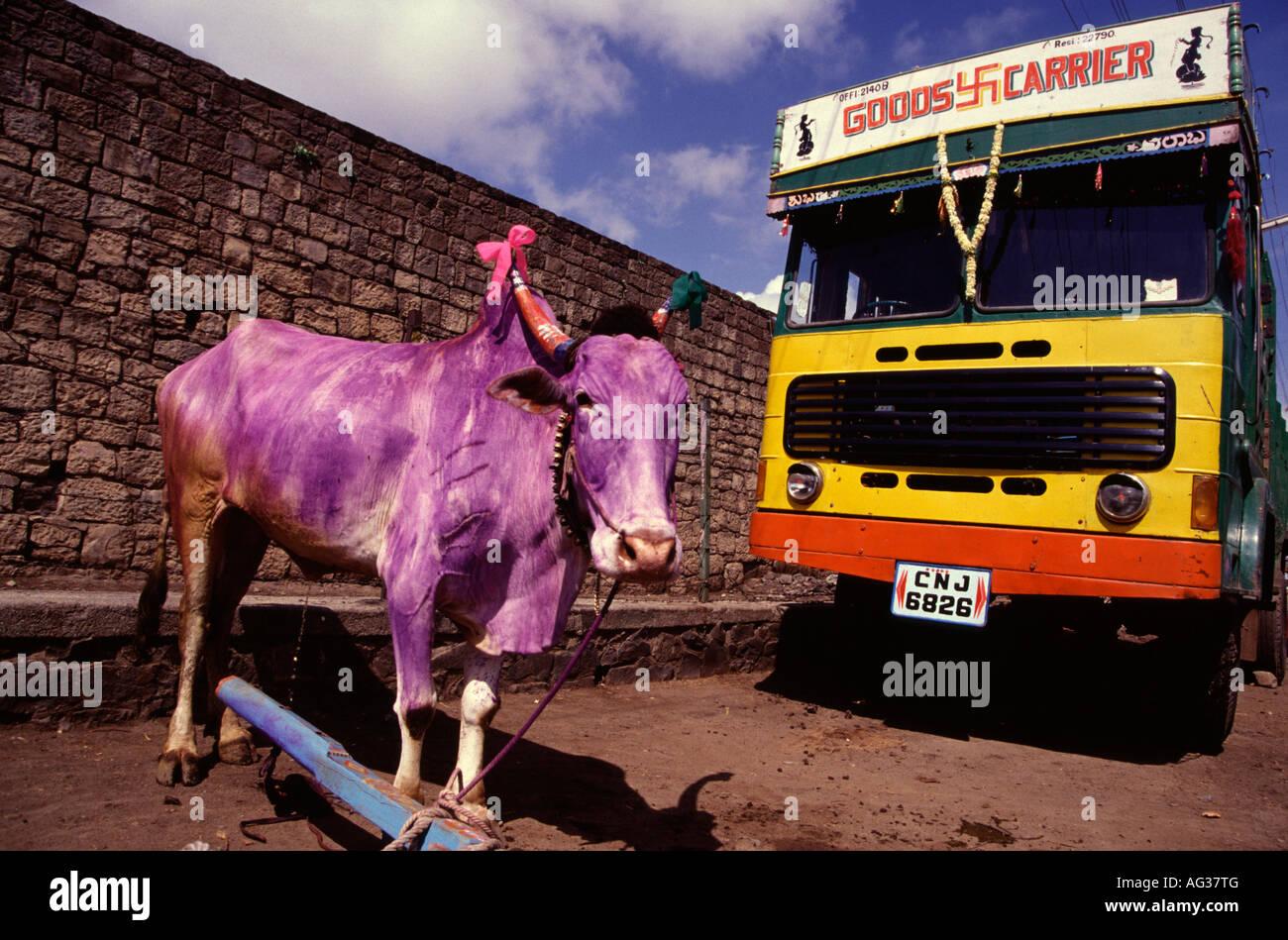 Mucca viola dipinte durante il festival Pongal Tamil Nadu India del Sud Immagini Stock