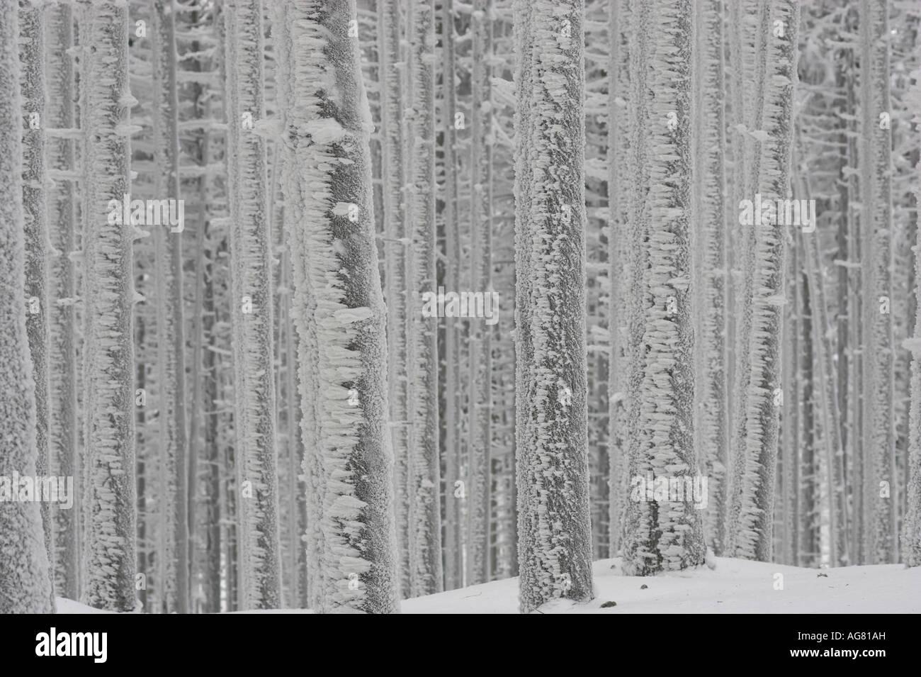 Fichten im Winter mit Raureif pini coperti con trasformata per forte gradiente frost Foto Stock