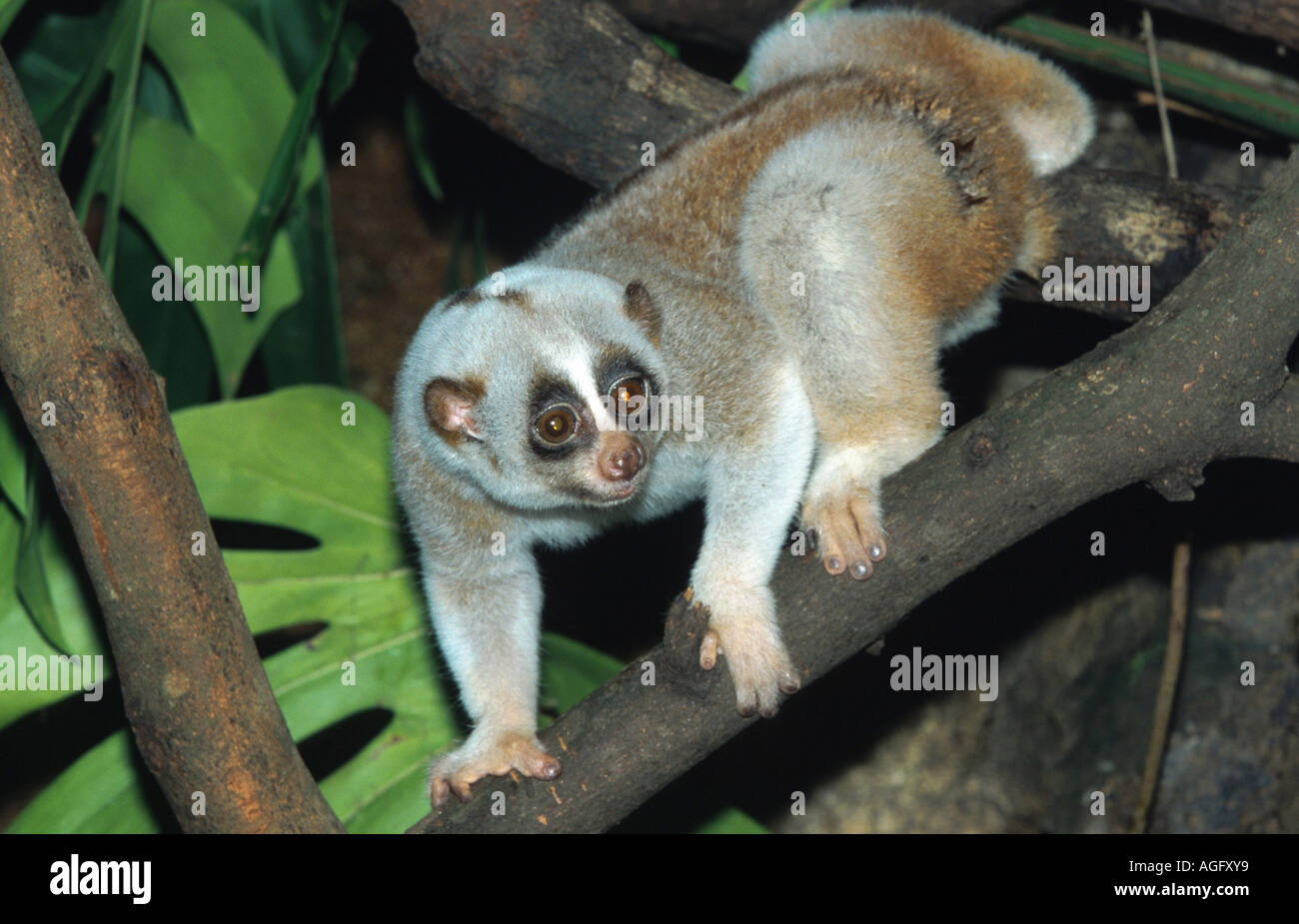 Slow loris, cu lan (Nycticebus coucang), sul ramo, Indonesia, Borneo Immagini Stock