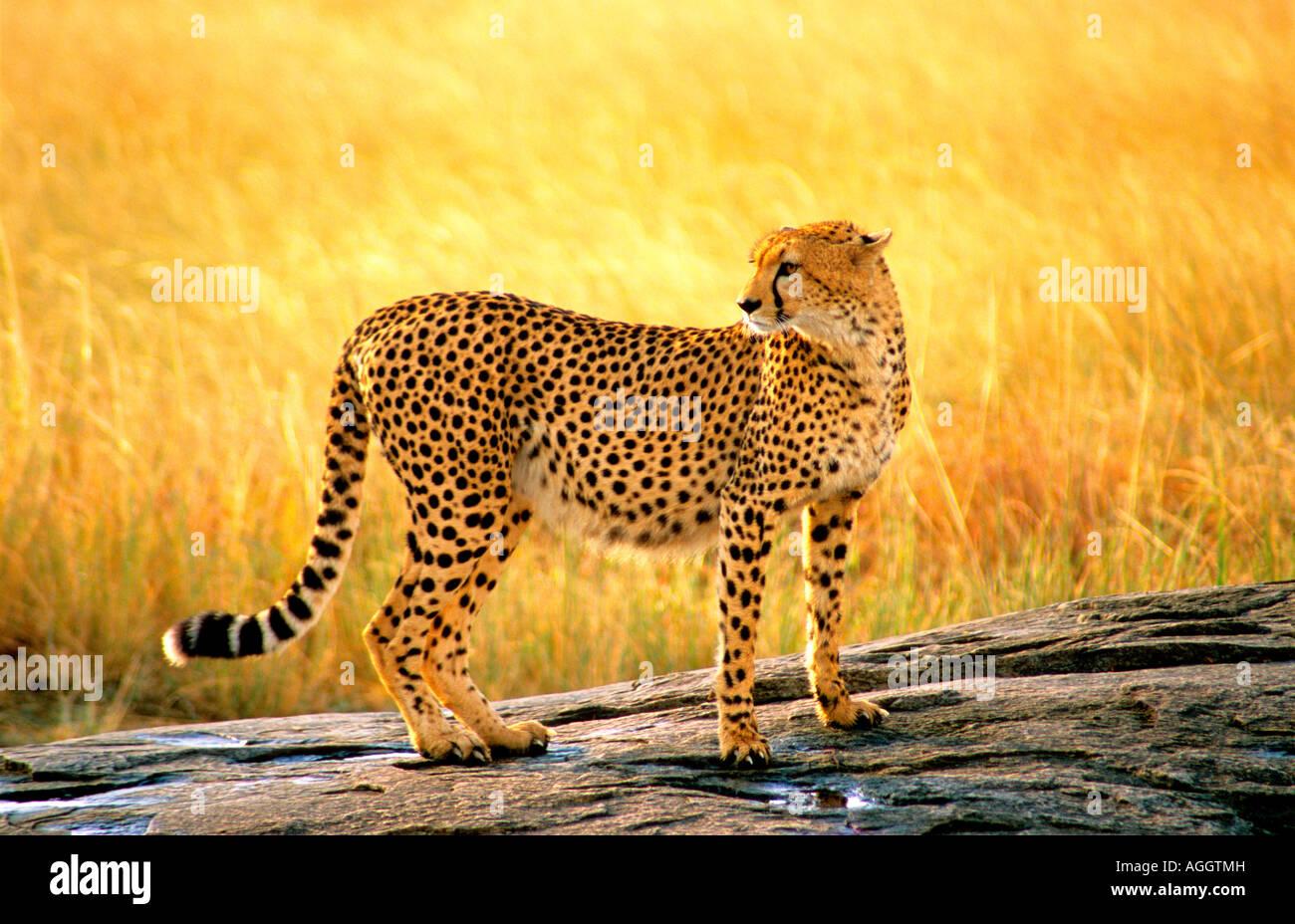 Ghepardo che posano su uno sperone roccioso nel Masai Mara Kenya Africa Immagini Stock