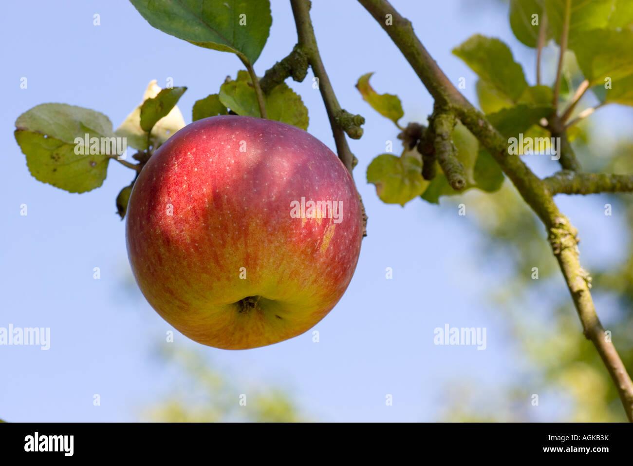 Red Apple su un albero contro il cielo blu Immagini Stock