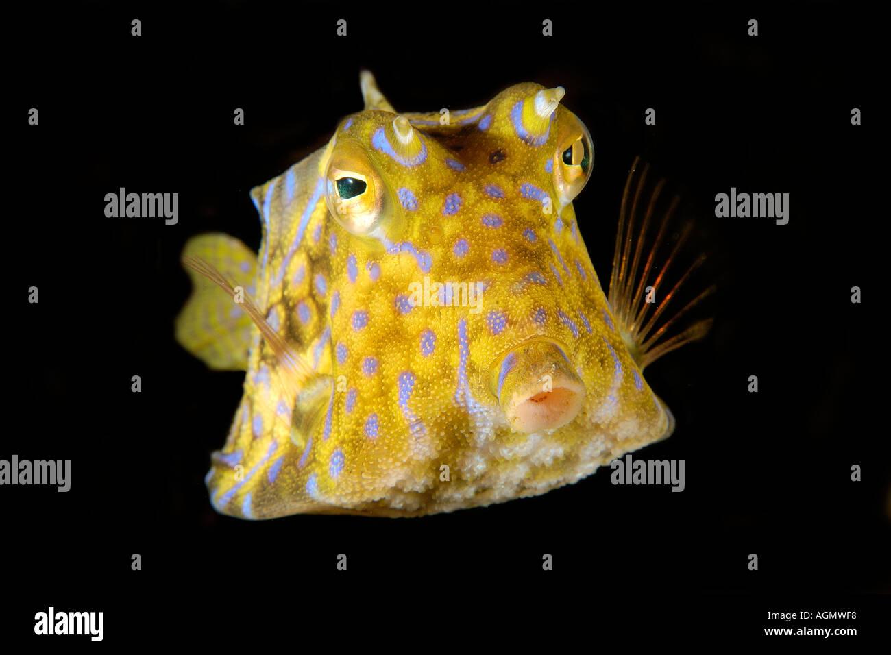 Thornback cowfish Lactoria fornasini Sabang relitto Puerto Galera Mindoro Filippine Immagini Stock