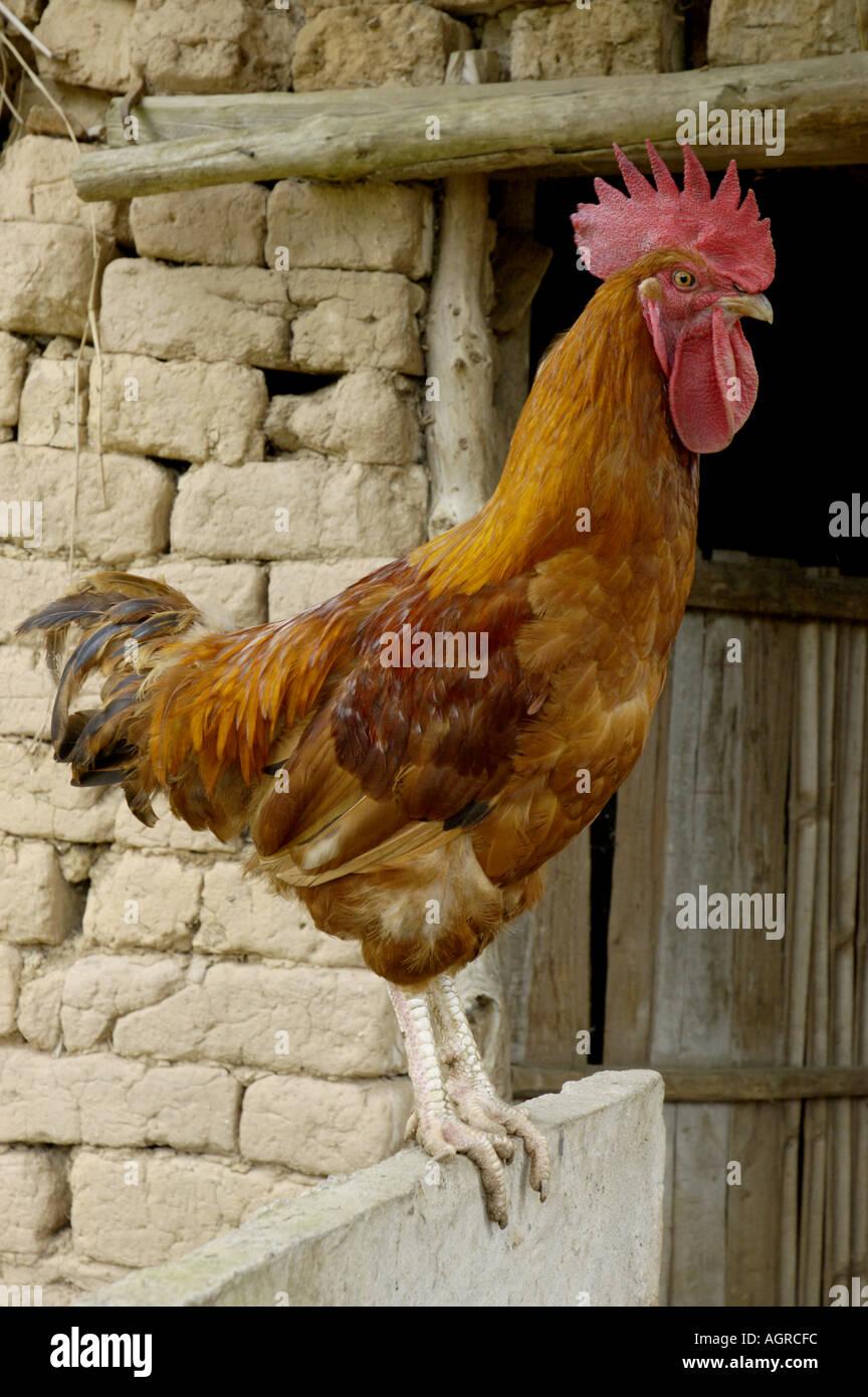 Ritratto di un gallo si appollaia accanto ad un granaio Immagini Stock