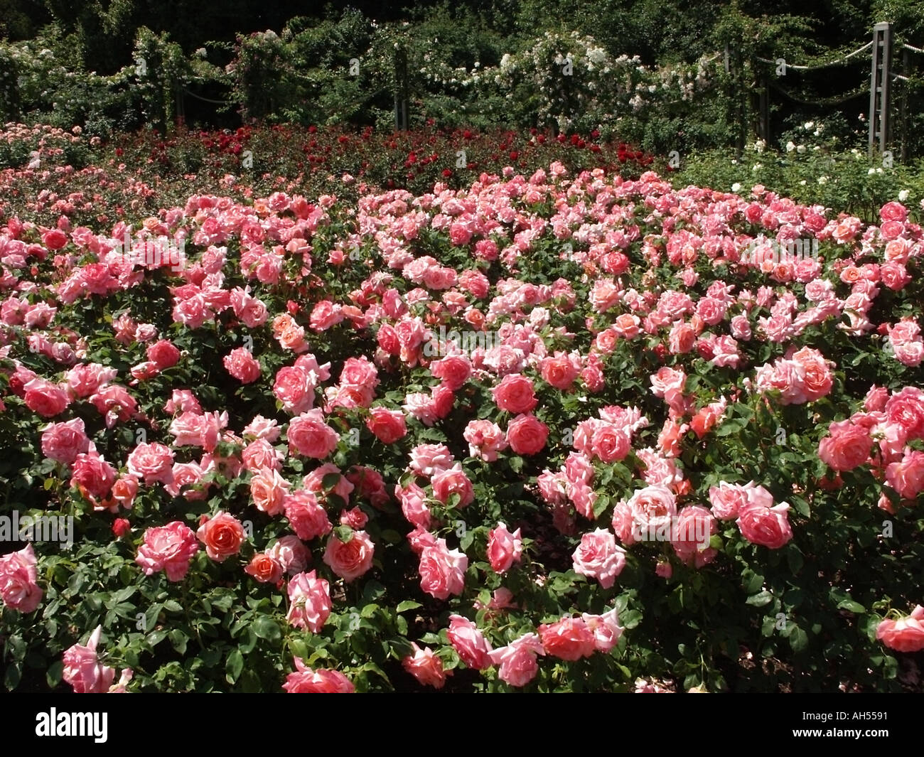Regents park london giardini di rose in piena estate fiore una