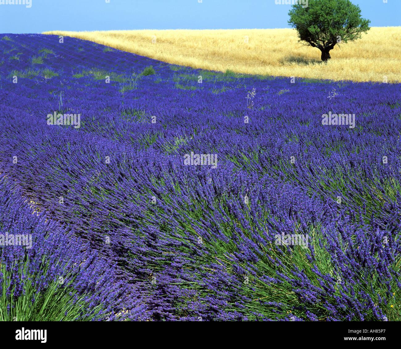 FR - Alpes de Haute Provence: Campo di lavanda e albero sul Plateau de Valensole vicino Puimoisson Immagini Stock