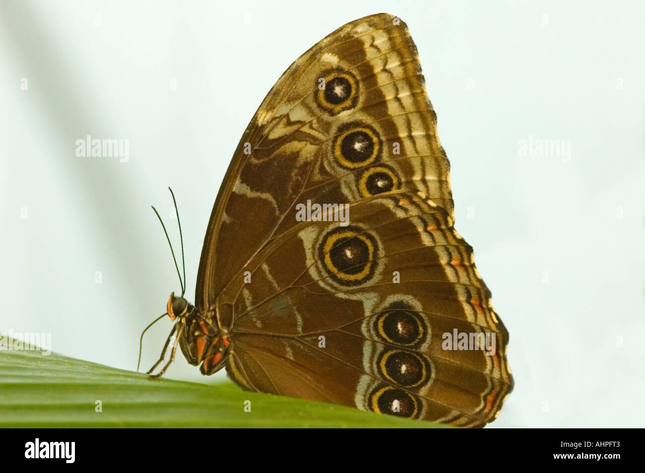 Chiudere orizzontale di un blu Morpho Butterfly 'Morpho Peleides' che poggia su una foglia con ali chiuso mostra che è hindwing Immagini Stock