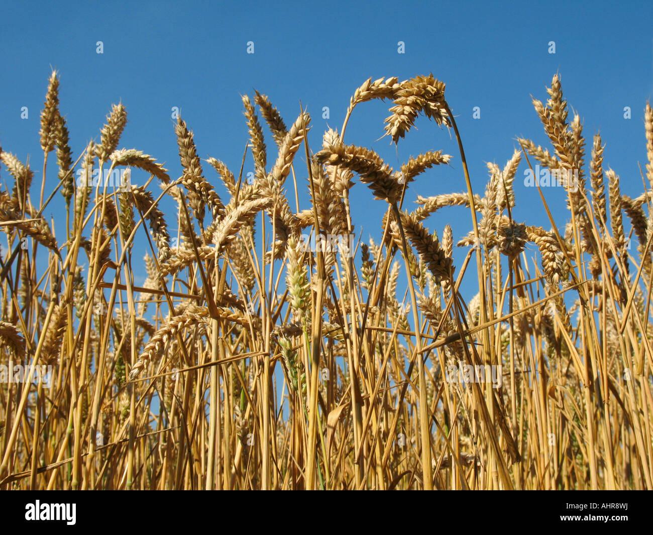 La maturazione di grano al sole Immagini Stock