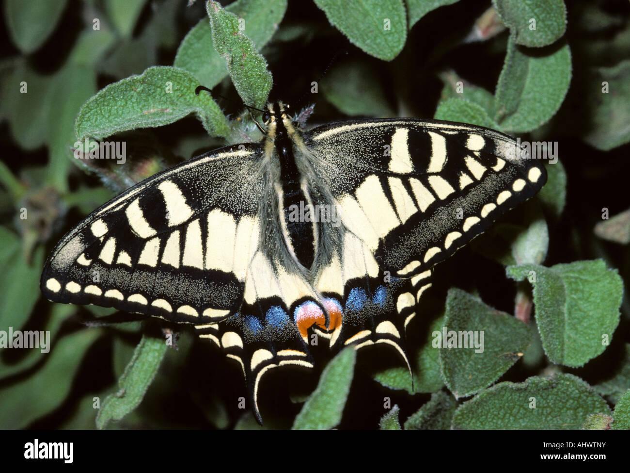 A coda di rondine (farfalla Papilio machaon), Isola del Giglio, Italia Immagini Stock
