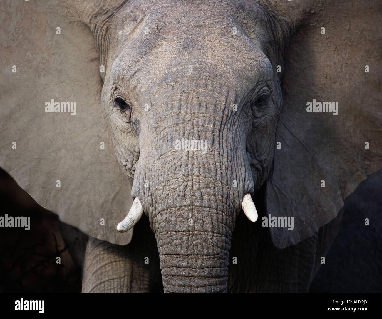 Close up di un elefante Immagini Stock